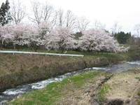 磐梯町の桜