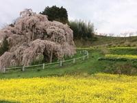 この春最後の三春滝桜