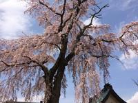 三春の桜 その2