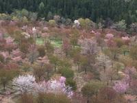 裏磐梯の桜めぐり