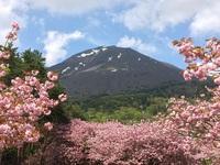 昭和の森の八重桜