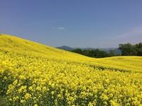 三ノ倉高原菜の花畑