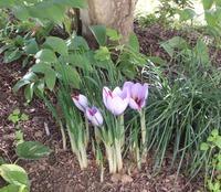 サフランが咲き始めました!