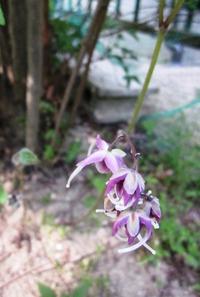 ひっそりとイカリソウが花開きました。
