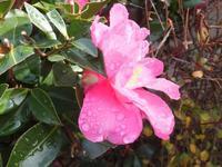 昨日の雨が滴となって