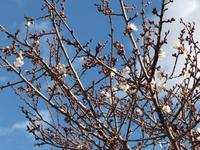 梅がもう咲き始めています!