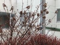 雪が舞い散る中、ぷくぷくの雀