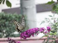 ブッドレアと蝶