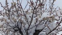 梅の花に積雪で花がつぶれそう・・・・