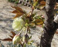 ウコンの桜など咲いています!
