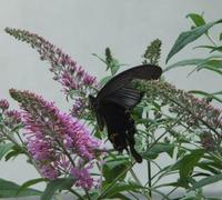 黒い蝶がやってきた!