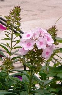 この花は?オイランソウ(花魁草)