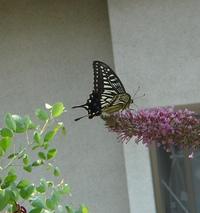 ブッドレアに蝶たちがやってきた