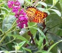 オレンジ色の蝶がブッドレアに