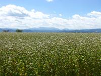 蕎麦の花を見に行きました