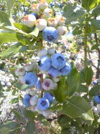 原点を見つめる。。。ブルーベリー収穫