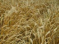 ゆるゆる畑でうどんを食べる日を夢みて・・・