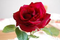 薔薇と珈琲。