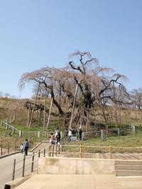 4月5日の三春滝桜(ふくしま)