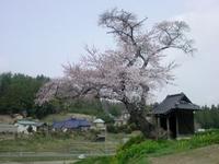 H/25・小沢の桜