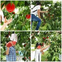 桃狩りと新学期