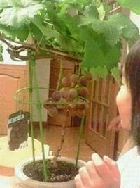 葡萄が来た!