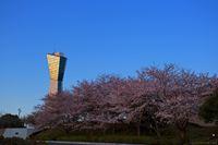 夕暮れ桜@三崎公園/いわき桜の名所