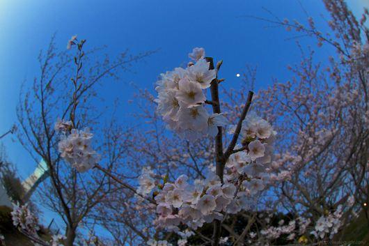 いわき桜 マリンタワー桜情報