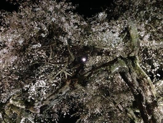小川諏訪神社 いわき桜ライトアップ