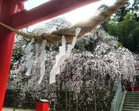小川諏訪神社シダレザクラ 開花状況/いわき桜2015