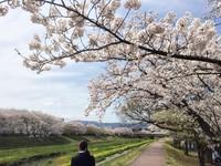 青空と桜並木と菜の花と、キミ。/新川沿いの桜並木 いわき桜2015