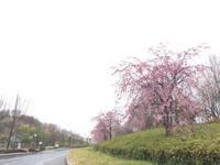 あら!?こんなところにも桜が綺麗に!21世紀の森公園/いわき桜2015