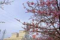 一足お先の桜@常磐共同火力の河津桜