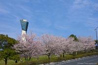 満開の桜と⋯⋯?@三崎公園/いわき桜の名所2015
