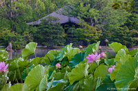 国宝白水阿弥陀堂の古代蓮が開花です!