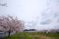 鹿島千本桜とも言われている鹿島矢田川土手/いわき桜2015