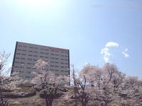 スパリゾート・ハワイアンズの桜が満開!いわき桜の名所