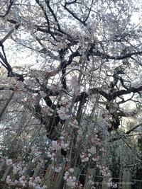 圧巻!小川諏訪神社のしだれ桜/いわき桜