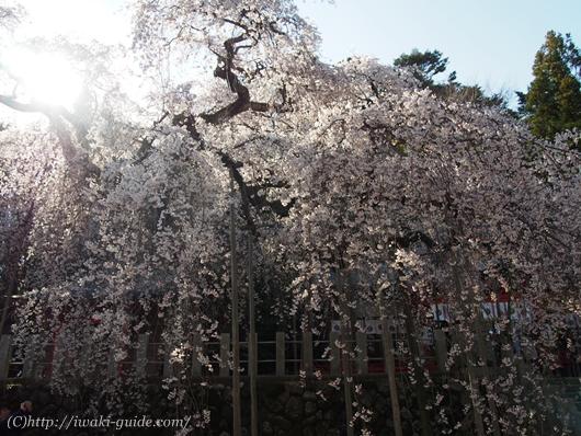 小川諏訪神社のしだれ桜/いわき桜