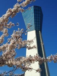 いわきマリンタワーの上から観た桜