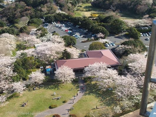 いわき桜の名所 三崎公園 マリンタワー