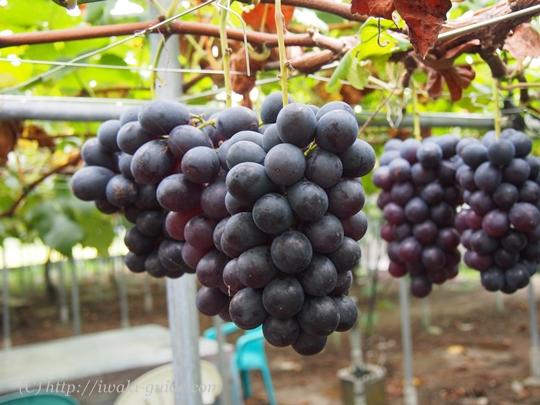 いわき観光おすすめ ぶどう狩り食べ放題 葡萄の里