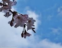 咲きはじめ!新川河川敷の桜並木 いわき桜2016