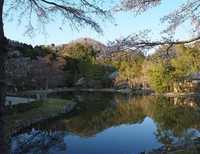 浄土庭園の桜~白水阿弥陀堂