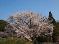 春遅し此の山里の桃桜~田人の石割桜~/いわき桜の名所
