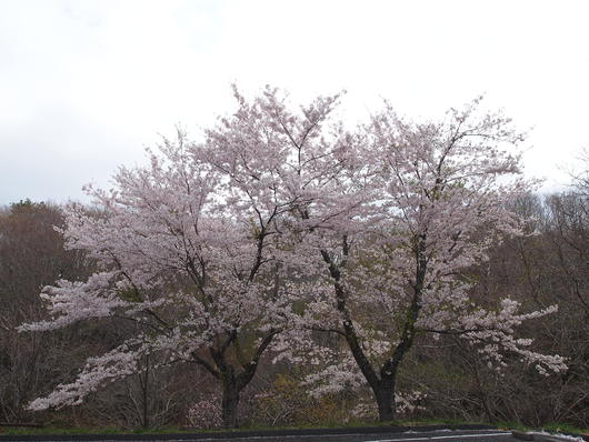 いわき桜の名所 鬼ヶ城さくら祭り2014