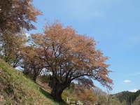 新田の大山桜/三和の里新田 大山桜まつり