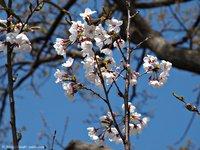 咲きはじめた万本の桜@いわき万本桜/回廊美術館 いわき桜2015