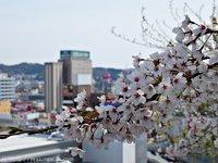 超レア!磐城平城本丸跡地の桜 いわき桜2015