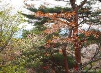 勿来の関公園の桜は癒しのサクラ いわき桜2015